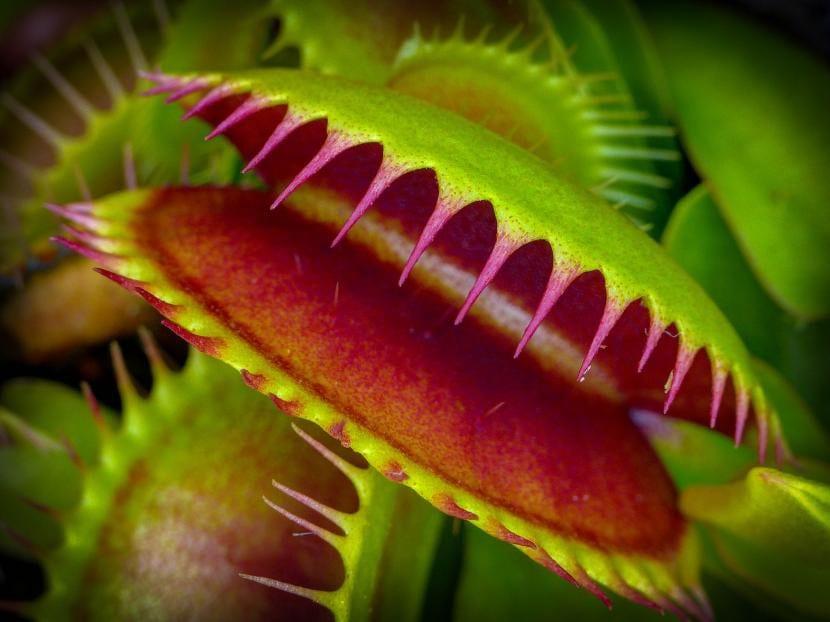 Trampa de Dionaea muscipula o Venus atrapamoscas