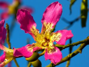 Vista de la flor del ceiba