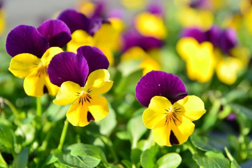 Flores de pensamiento, ideales para decorar el jardín