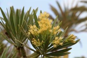 Flores de Senecio kleinia