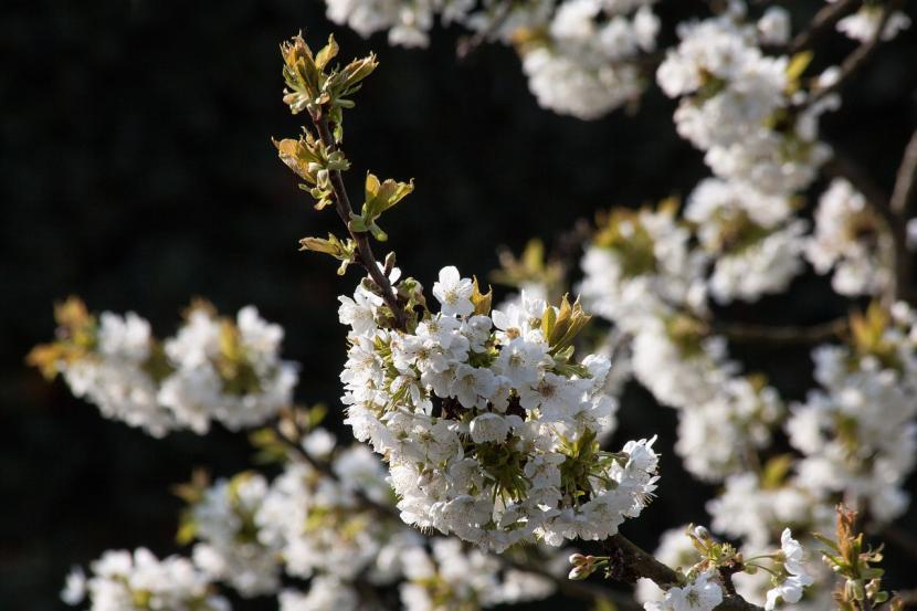 Flores del cerezo