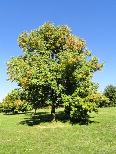 El Fraxinus americana es un árbol caducifolio