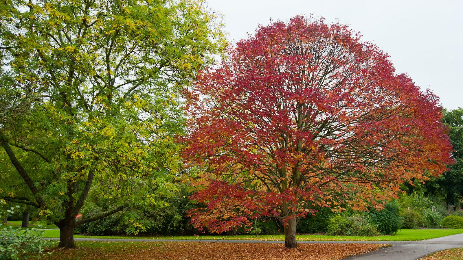 El fresno americano se vuelve rojo en otoño