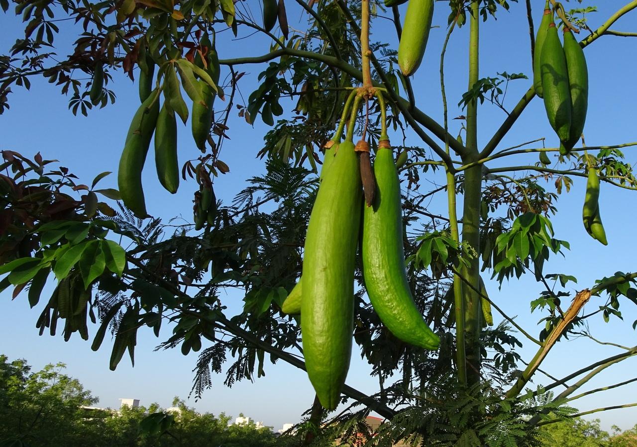 Frutos del ceiba