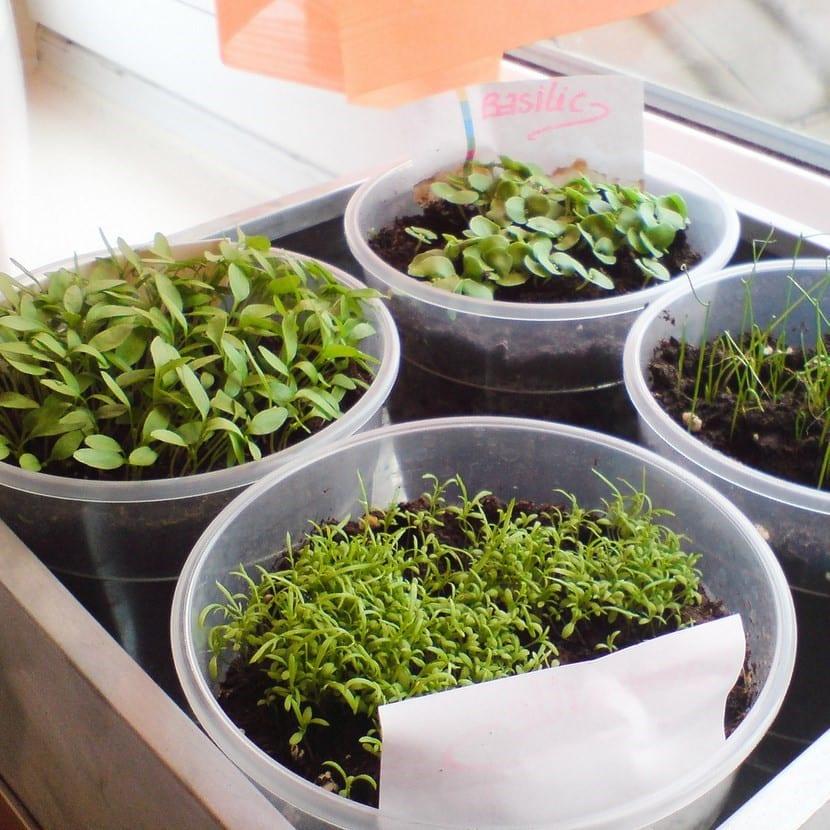 Siembra tus plantas aromáticas