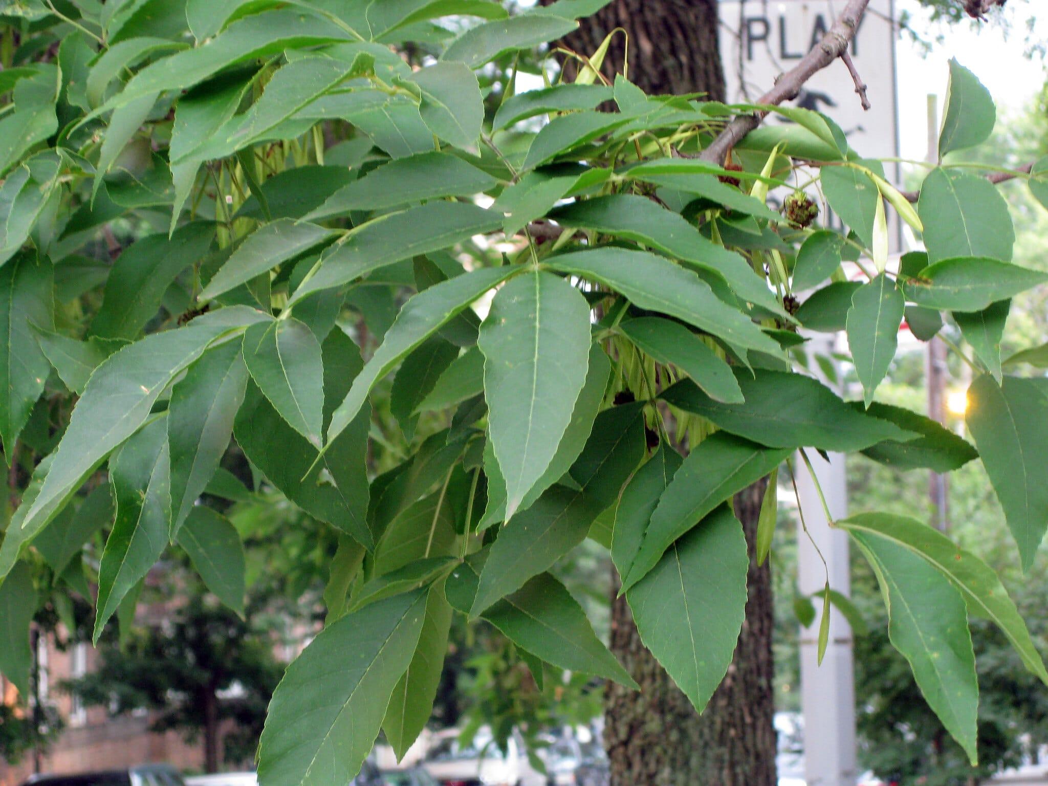 El fresno americano es un árbol