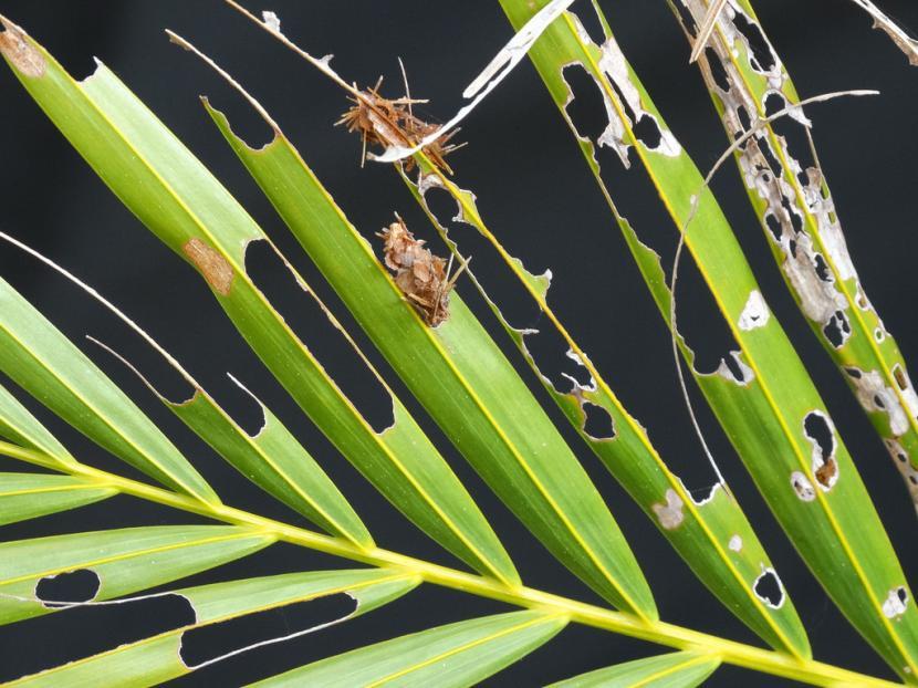 Hoja dañada por larvas