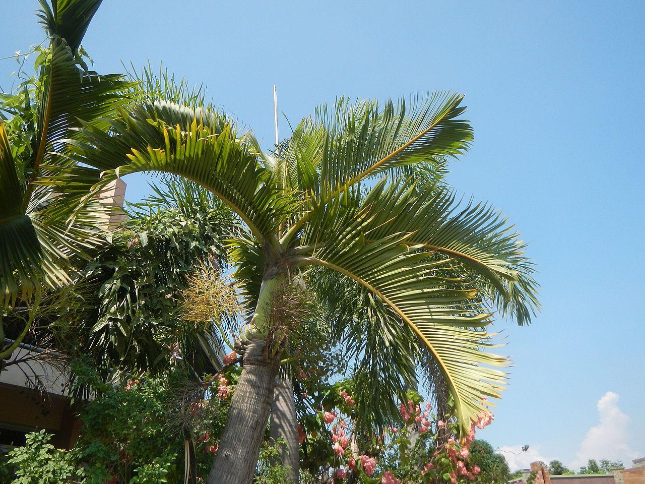 La Hyophorba lagenicaulis es una palmera preciosa