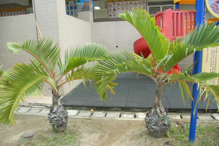 Palmera botella una curiosa planta para jardines c lidos for Palmeras pequenas para jardin