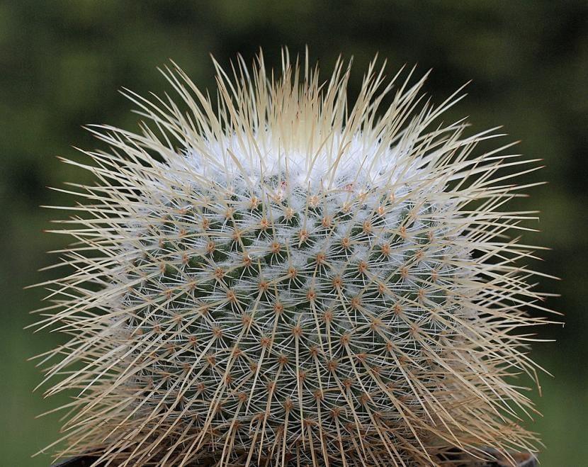 Cactus de Mammillaria dixanthocentron