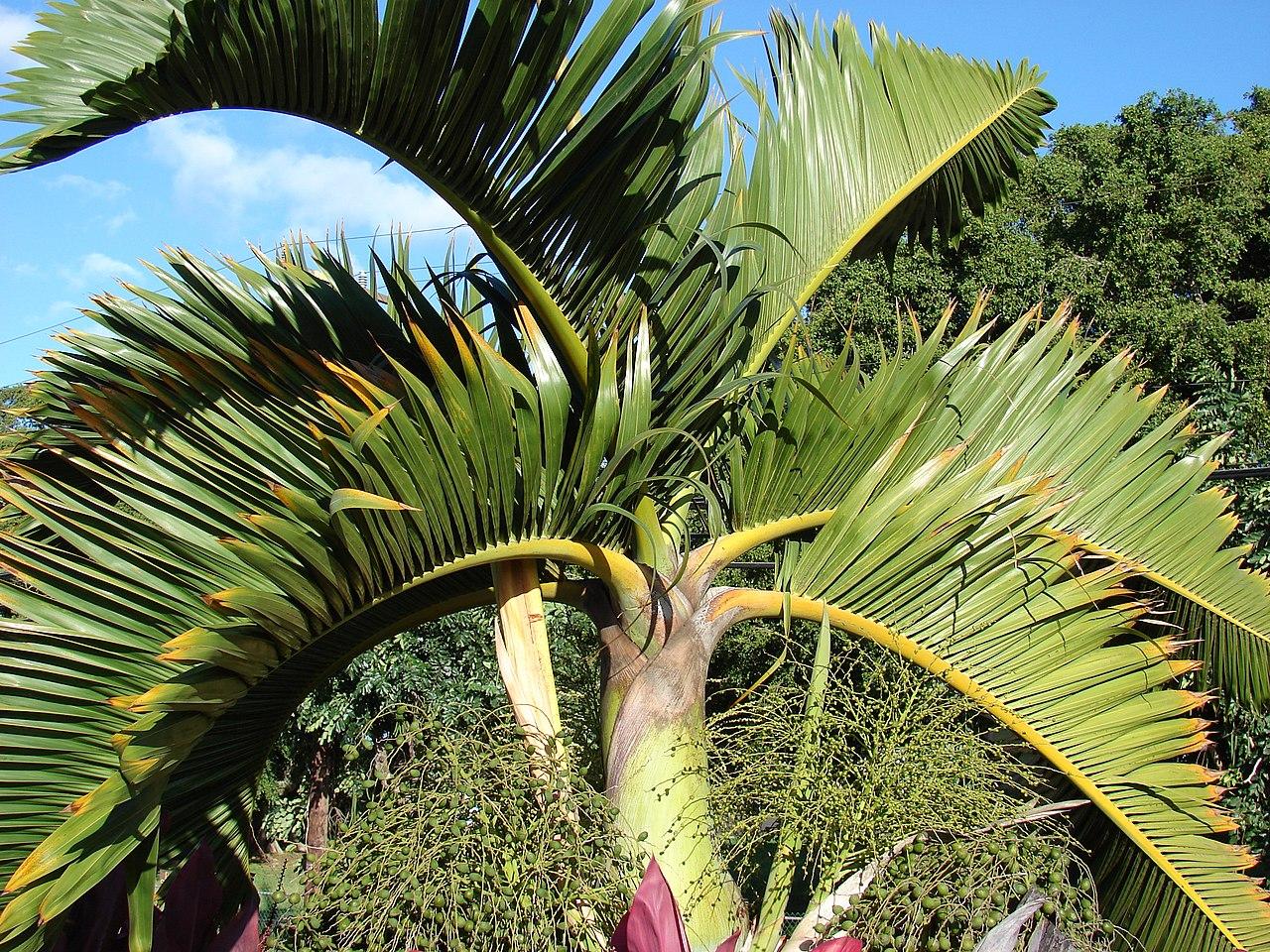 La palmera botella es una planta tropical