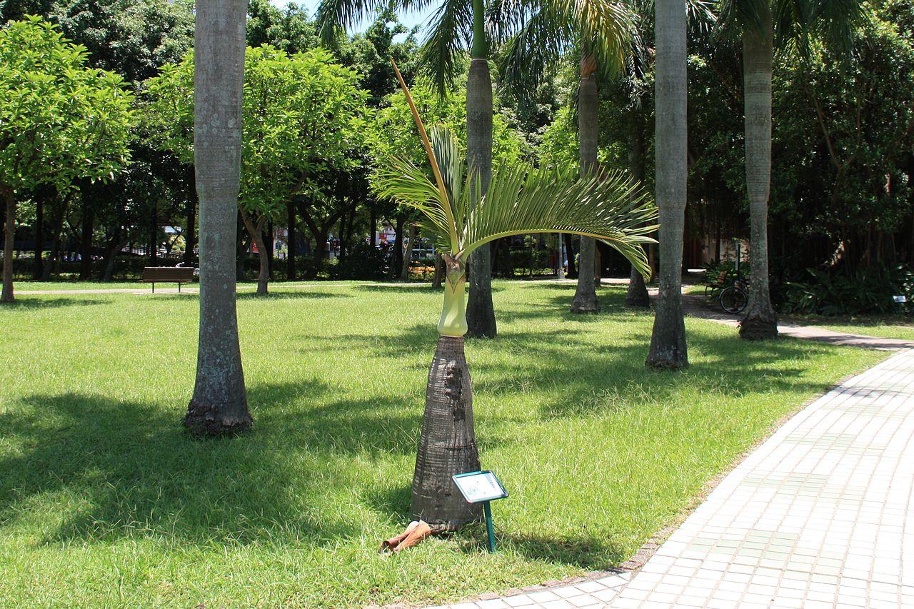 La palmera botella tiene pocas hojas