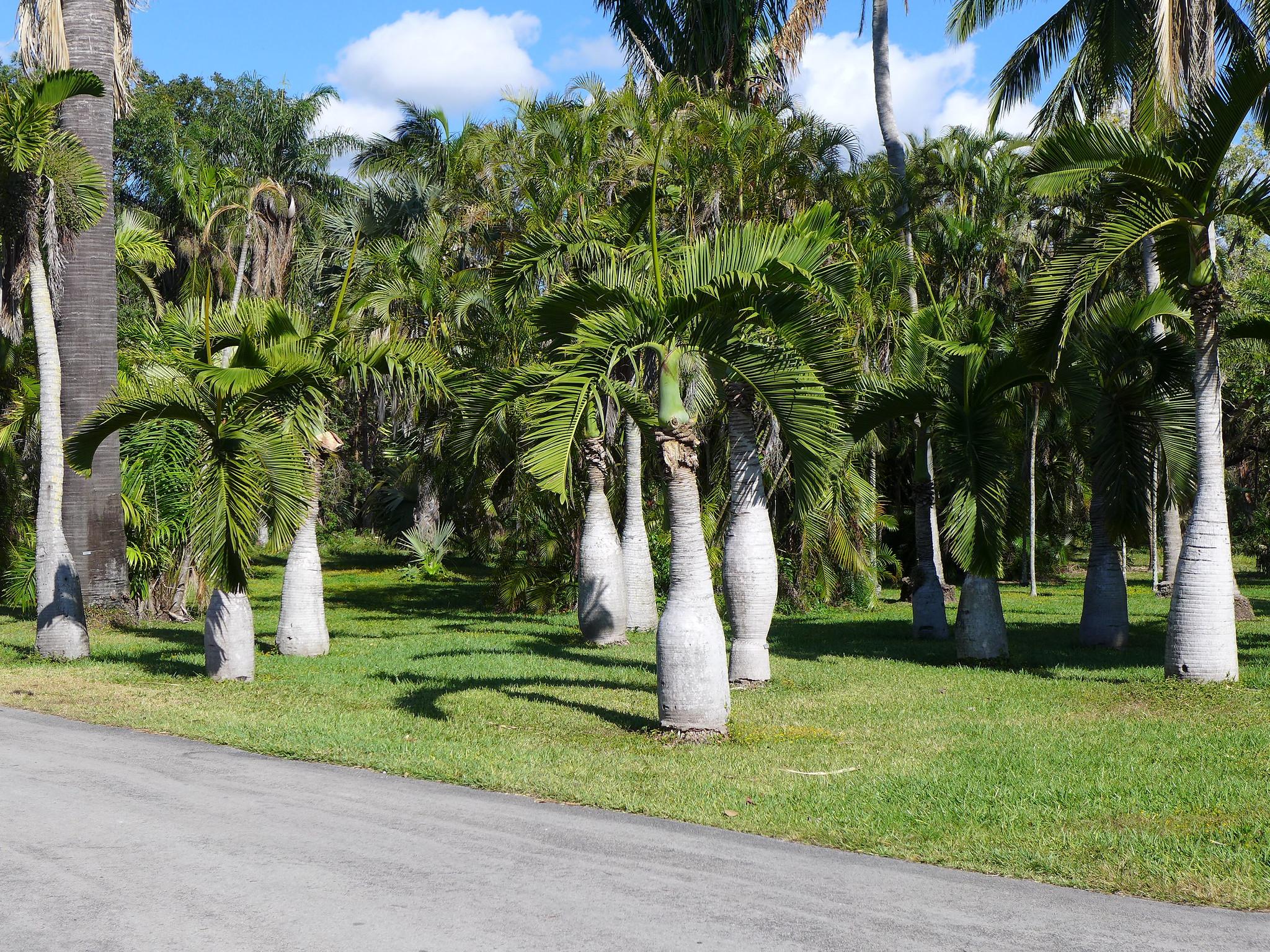 La palmera botella es una planta perennifolia