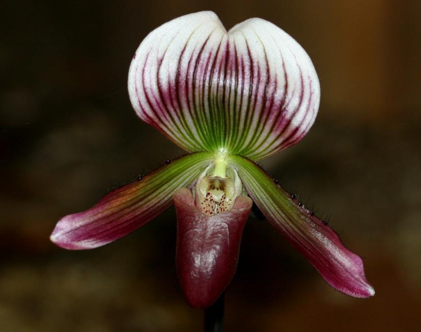 Paphiopedilum callosum 'Thailandense'