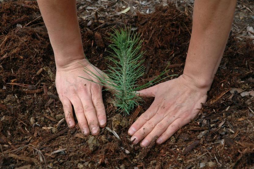 Plantación de pino en tierra