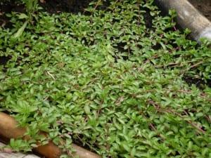Planta Poleo