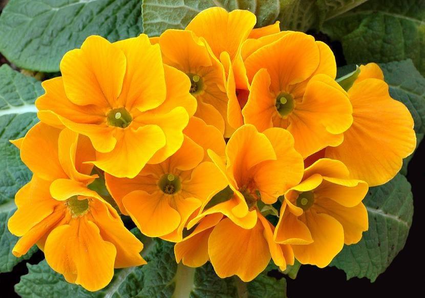 Prímula de flores naranjas