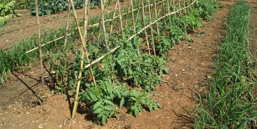 Plantación de tomates en un huerto