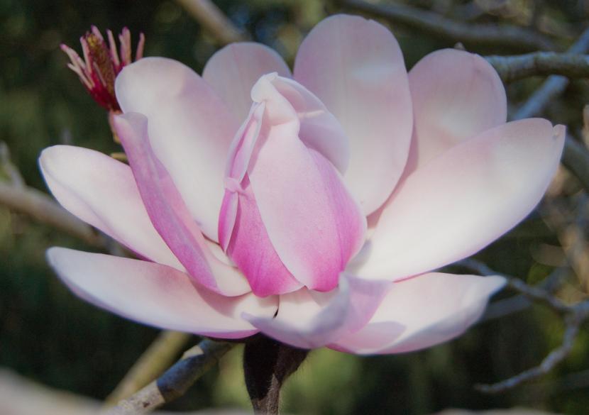 Magnolia 'Soulangeana x Campbelli'