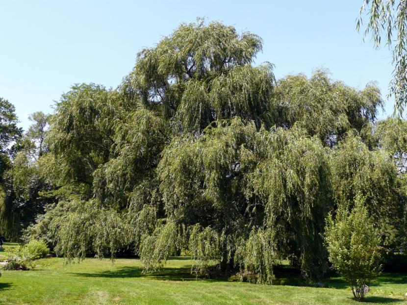 Árbol de Sauce llorón