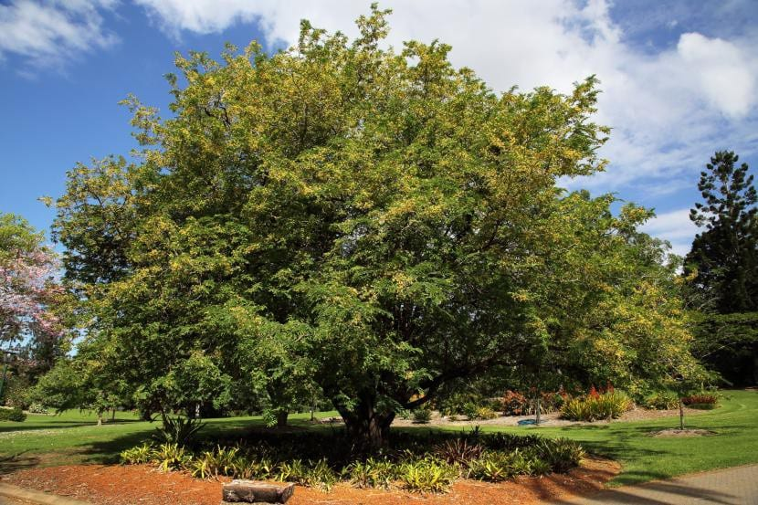 Árbol de Tamarindo