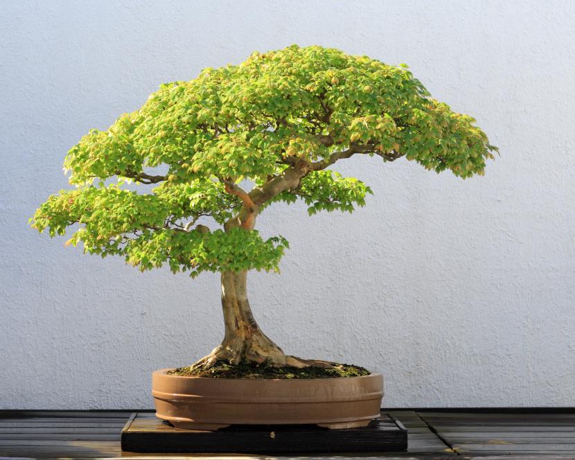 Bonsái de Acer buergerianum