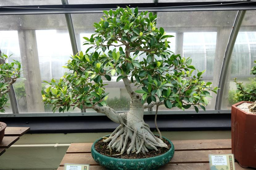 Bonsái de Ficus rubiginosa