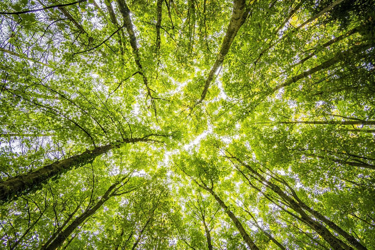 Con la fotosíntesis, los árboles expulsan oxígeno