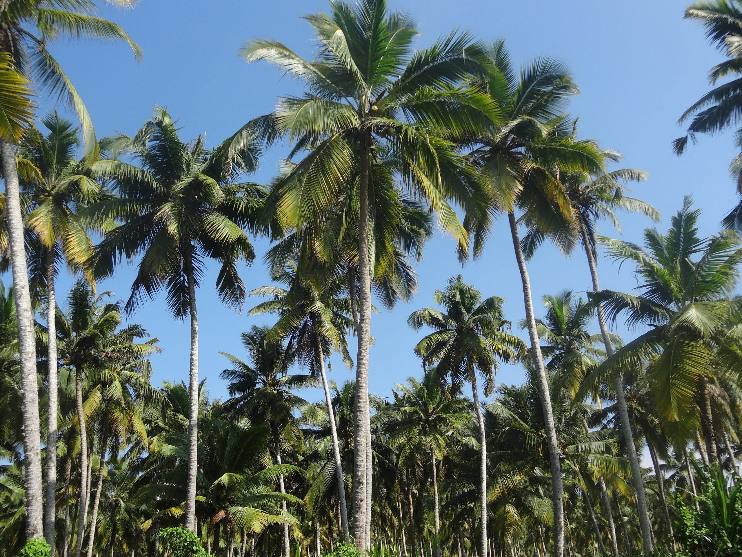 Los cocoteros son palmeras difíciles de cultivar en España