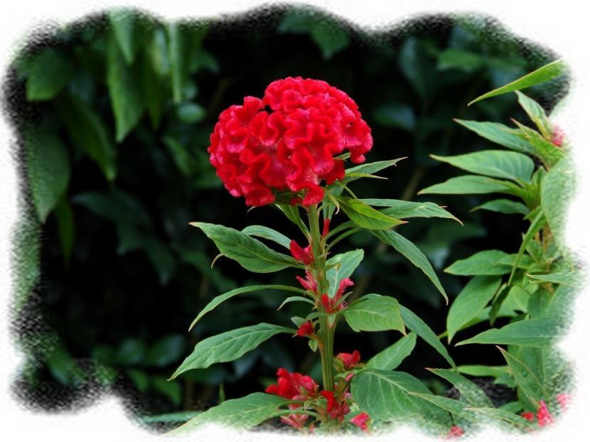 Cresta de gallo flor roja