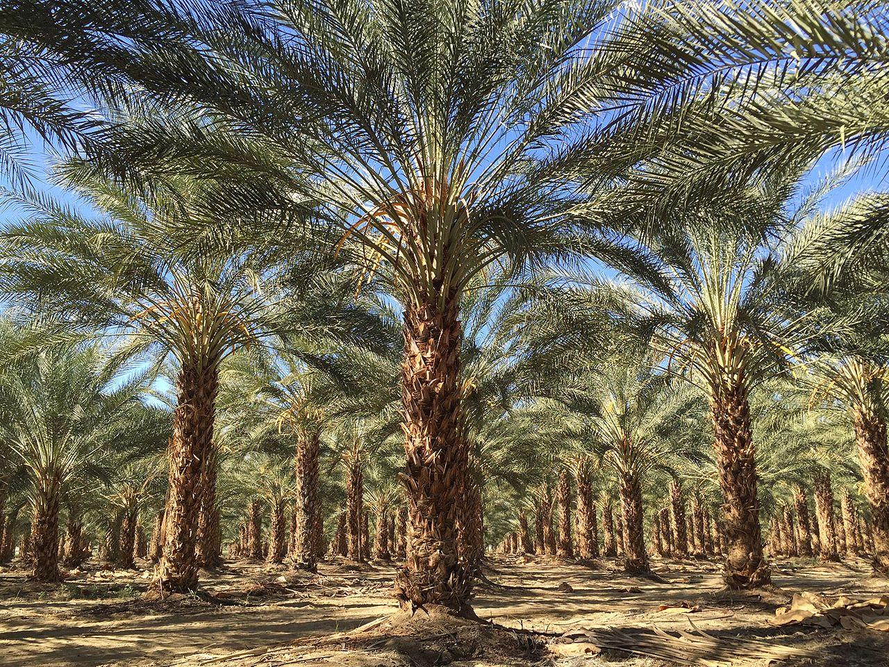 Vista de palmeras datileras