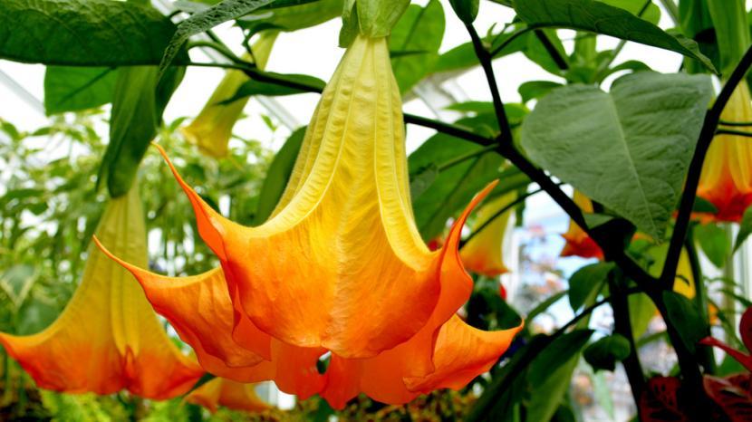 Datura naranja
