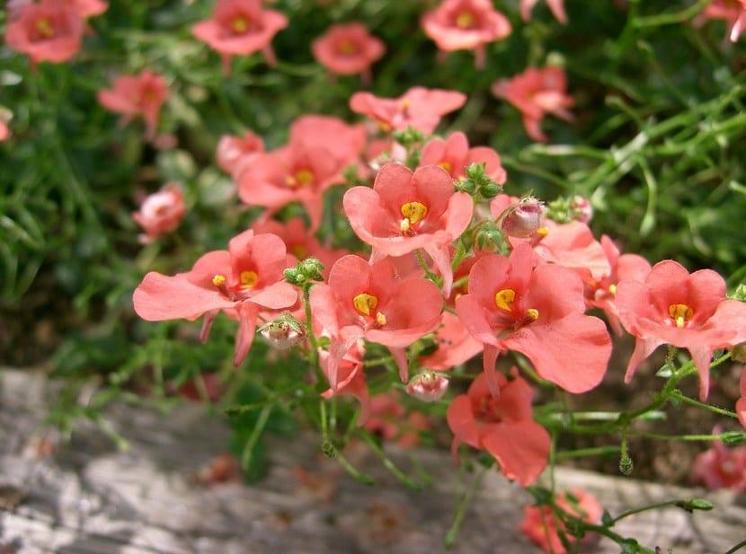 Diascia o reina rosada