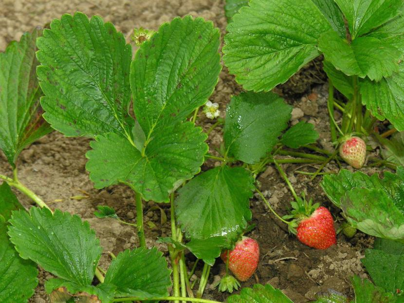 Fresas en el huerto