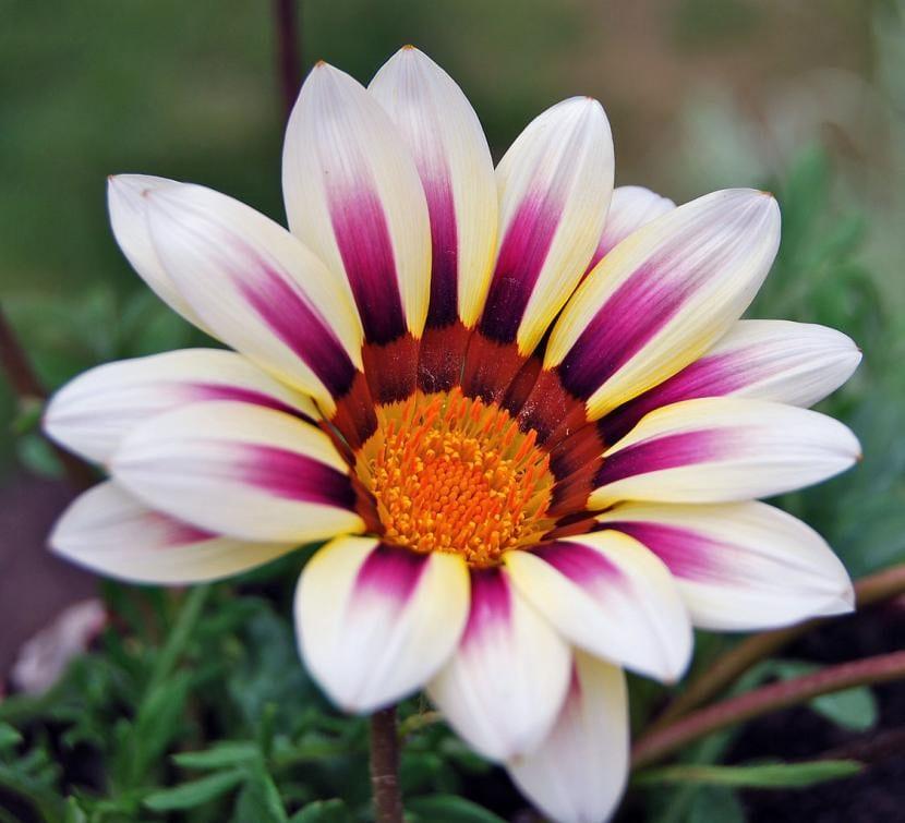 Flor blanco de la planta Gazania