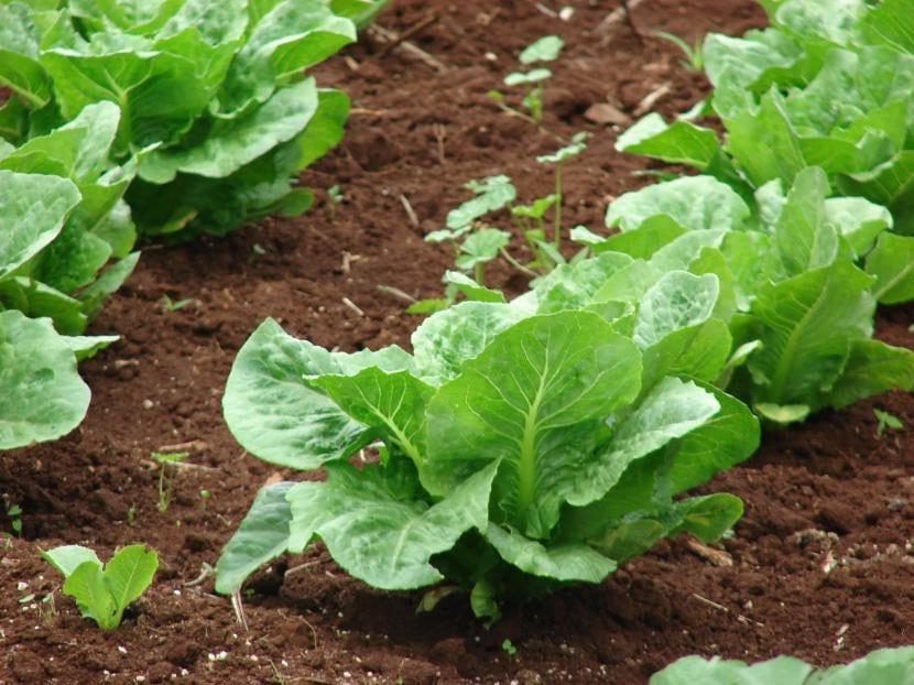 La lechuga es una planta de muy fácil cultivo para los niños