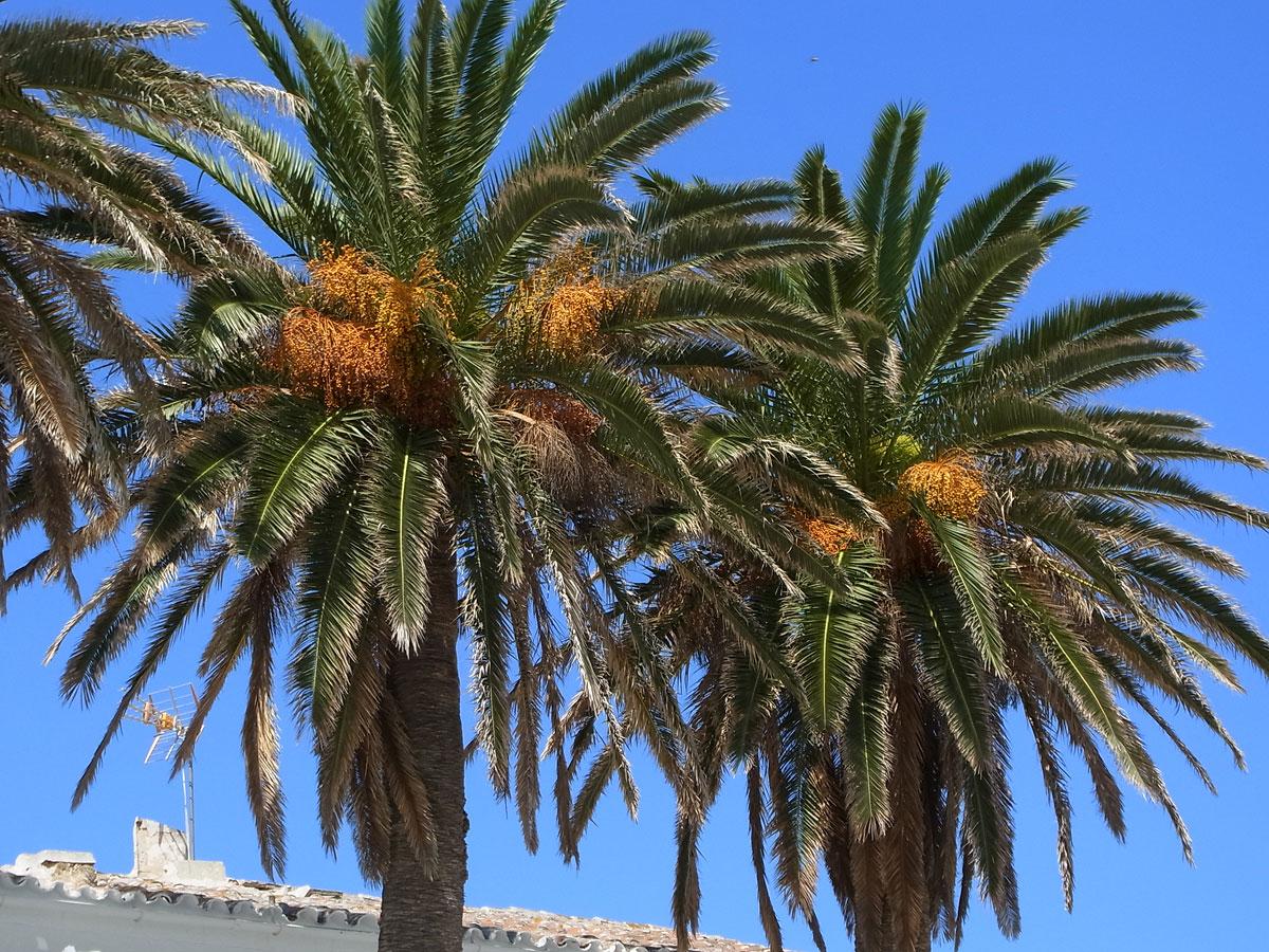 Vista de la palmera canaria