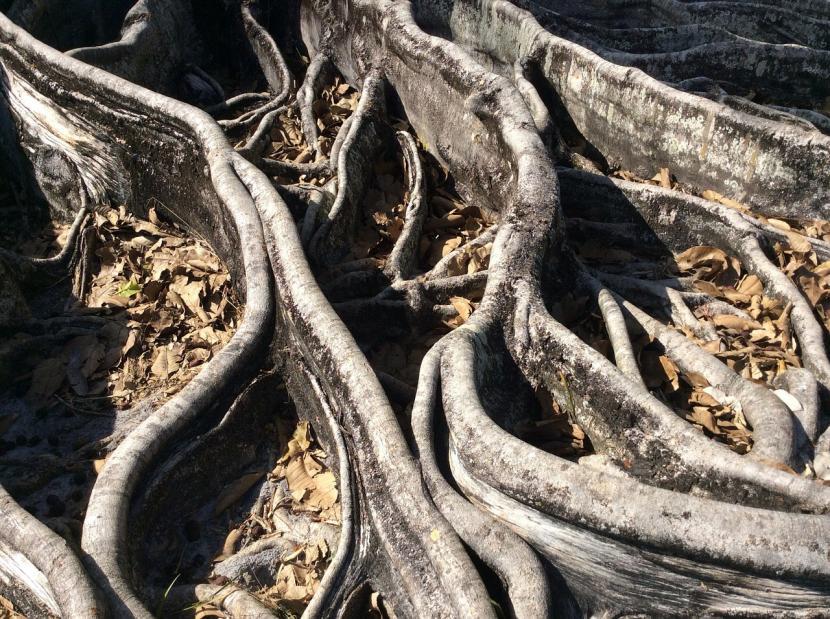 Raíces del árbol