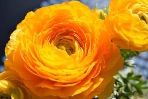 Ranunculo de flor naranja, que puede cultivarse en semisombra