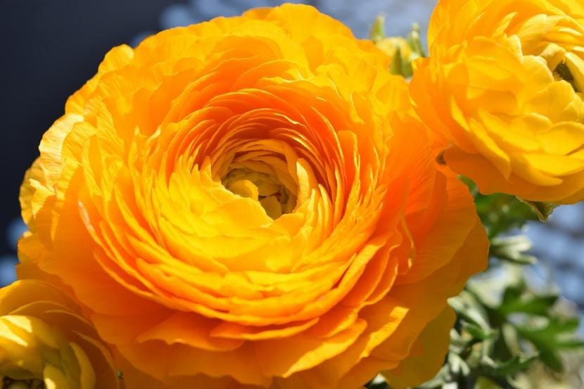 Ranunculo de flor naranja