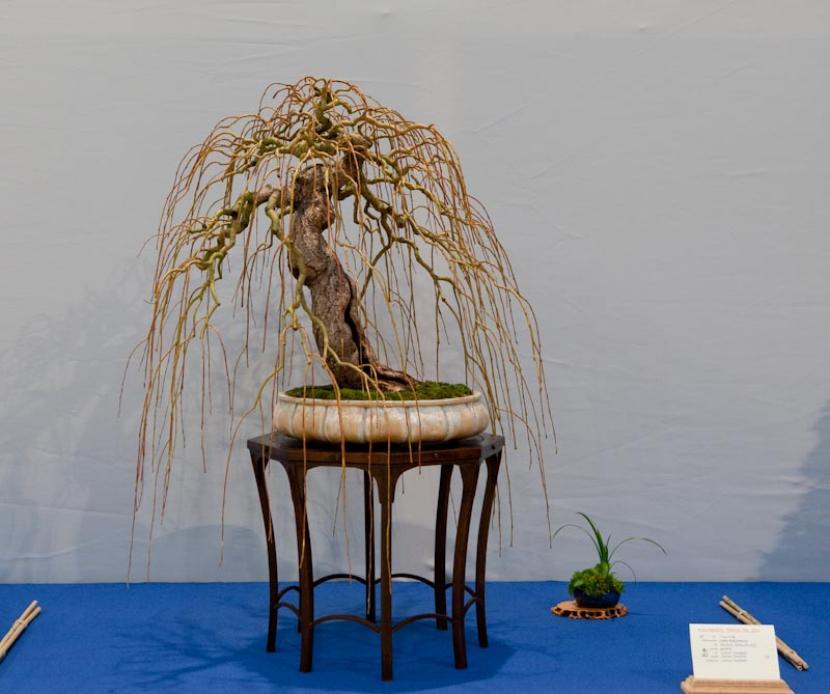 Bonsaí de Salix babylonica