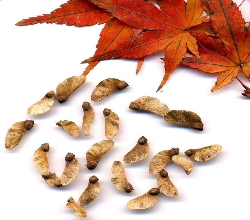 Las semillas de arce necesitan pasar frío para poder germinar.