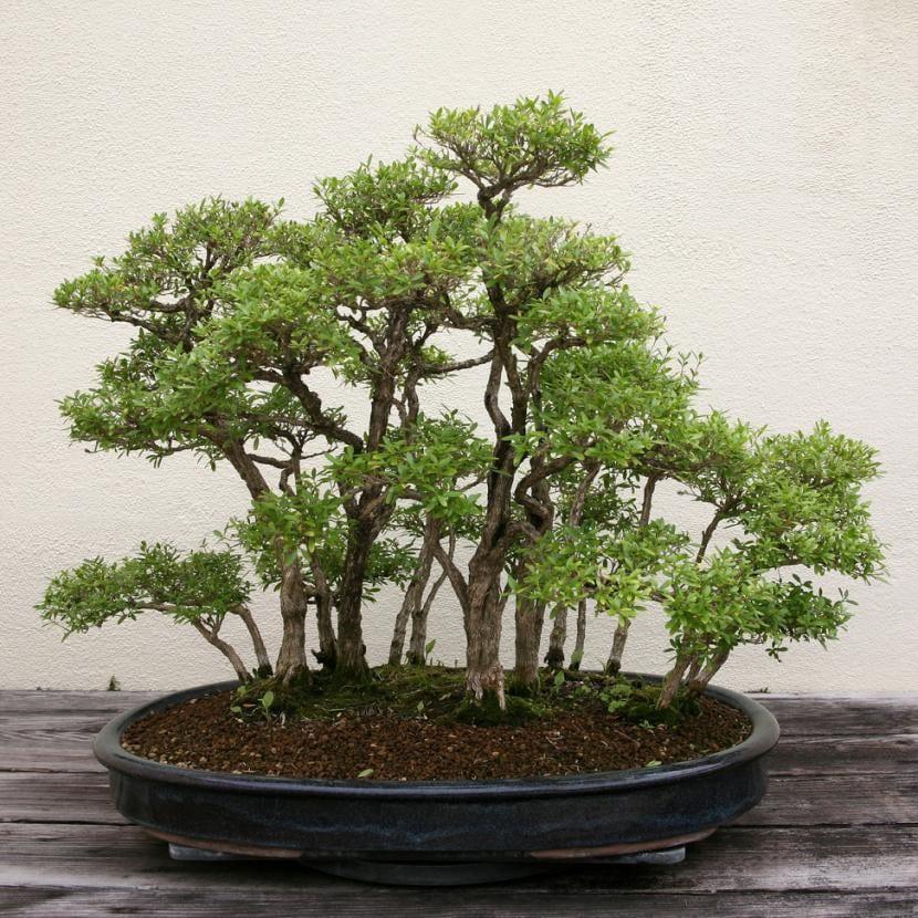 Bonsái de Serissa japonica