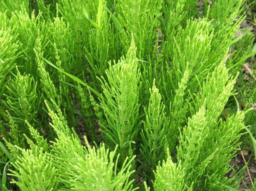 Equisetum arvense, el nombre científico de la planta cola de caballo