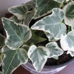 Preciosas hojas variegadas de la Hedera algeriensis