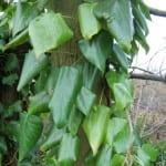 Preciosas hojas verdes de la Hedera colchica