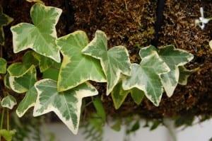 Vista de las hojas de la Hedera helix o hiedra común, una planta apta para principiantes
