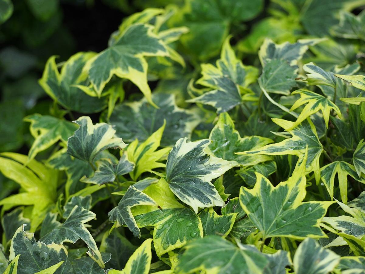 La hiedra es una trepadora ideal para jardines