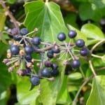 Hojas y frutos de la Hedera hibernica