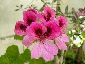 Pelargonium domesticum